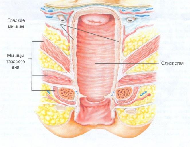 На рисунке видно, что мышцы тазового дна охватывают вагинальный канал тольк